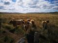 Les vaches Aubrac